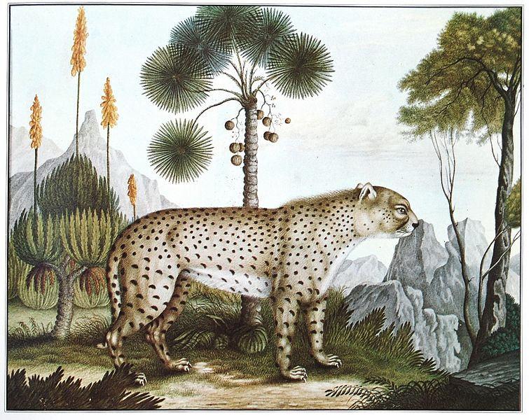 The Cheetah (1886) from The Bestiarium of Aloys Zötl (1831-1887). Courtesy of the Public Domain Review