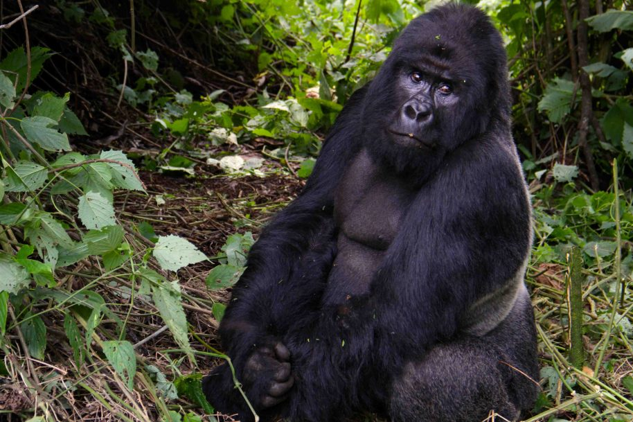 Virunga, the oldest national park in Africa and the crown jewel of Congo's ecotourism, is an area of extraordinary biodiversity and an important habitat for mountain gorillas.