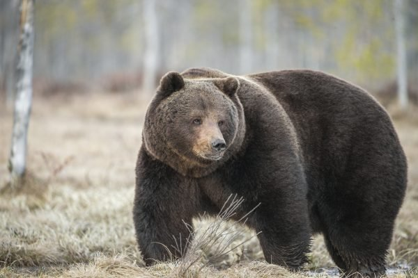 Trending #FatBearWeek Pits Bears Against One Another in Adorable Body-Shaming Event