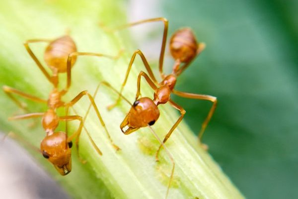 Petition to Rename Fire Ants to 'Spicy Boys' Gathers Steam, 'Picante' Rejected For Being Too Clever